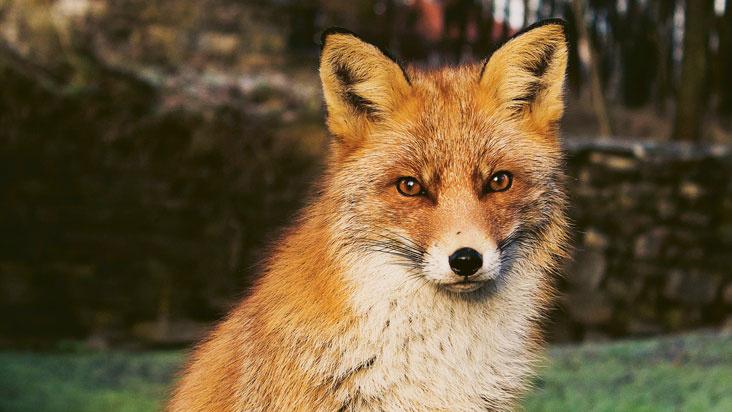 Nature Fox Festival